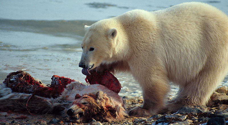 Polar Bear Eating Dog